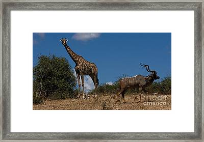Giraffe And Kudu Framed Print by Mareko Marciniak