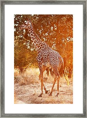 Giraffe At Sunset Framed Print by Gualtiero Boffi