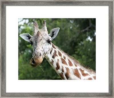 Giraffe Chewing Framed Print by Billie-Jo Miller
