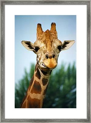 Giraffe Framed Print by CJ Clark