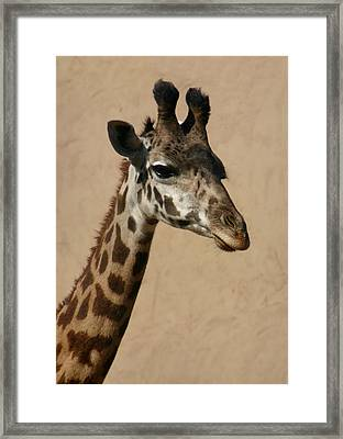Framed Print featuring the photograph Giraffe by Kelly Hazel