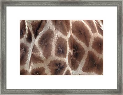 Giraffe's Hide Framed Print by John Foxx