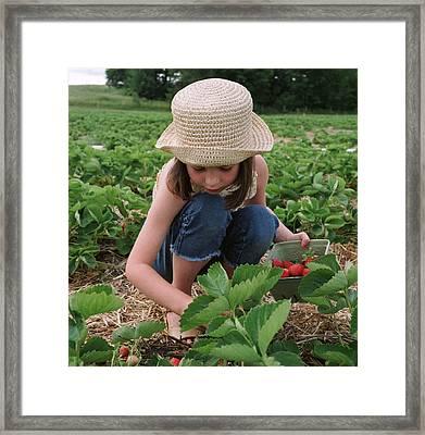 Girl Picking Strawberries Framed Print