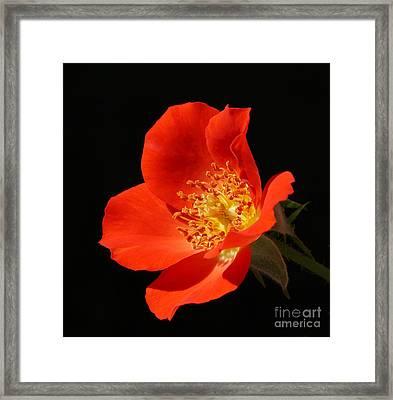Gizmo Rose Framed Print