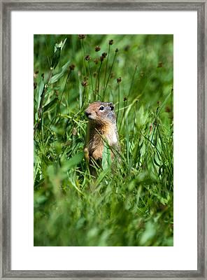 Glacier Ground Squirrel Framed Print by Bruce Gourley