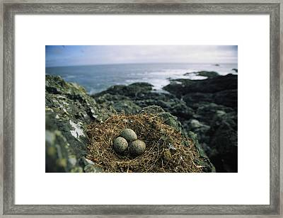 Glaucous-winged Gull Nest With Three Framed Print