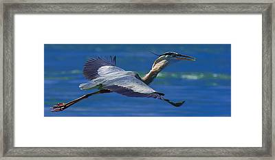 Gliding Great Blue Heron Framed Print