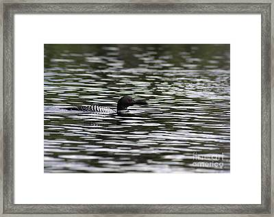 Gliding Loon Framed Print