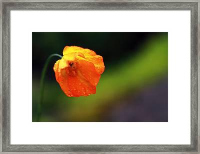 Globemallow Framed Print