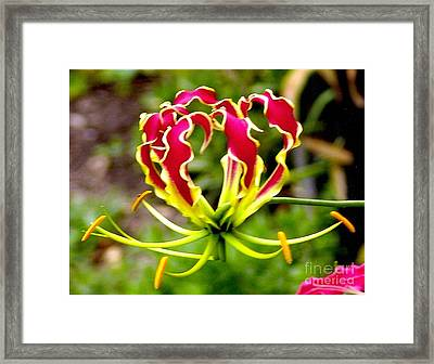 Gloriosa Lily Framed Print