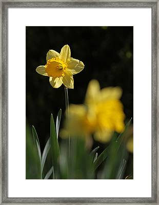 Glorious Daffodil Framed Print by Juergen Roth