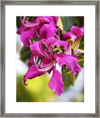 Glorious Pink Amherstia Nobilis Framed Print