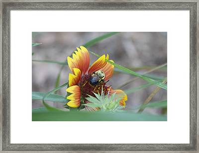 Glory Bumblebee Framed Print by Michel DesRoches