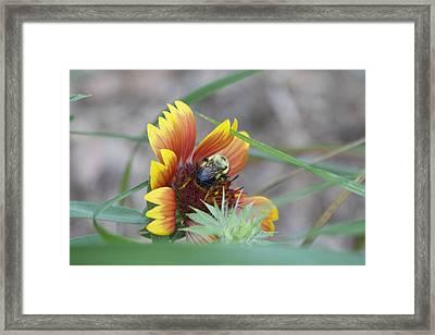 Glory Bumblebee Framed Print