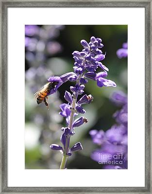 Glowing Bee In Purple Flowers Framed Print