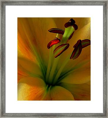 Glowing Lily Framed Print by Karen Harrison