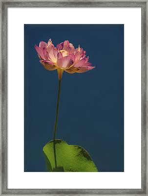 Glowing Lotus Framed Print by Jill Balsam