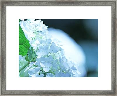 Glowing White Hydrangea Framed Print by Becky Lodes