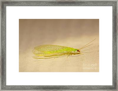 Go Lacewings Framed Print