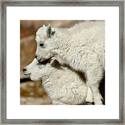 Goat Babies Framed Print by Colleen Coccia