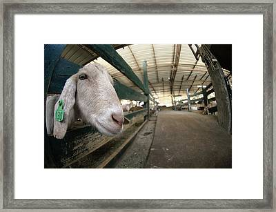 Goat Farming Framed Print by Photostock-israel