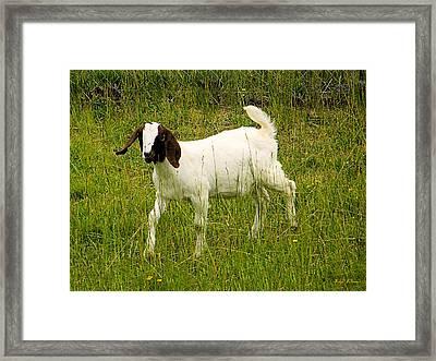 Goat Fun Framed Print