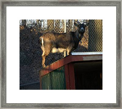 Goat On A Hot Tin Roof Framed Print by Bruce Carpenter