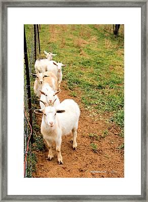 Goats Framed Print by Carolyn Postelwait