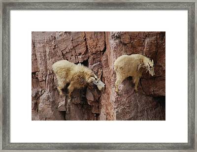 Goats On Rocks Framed Print