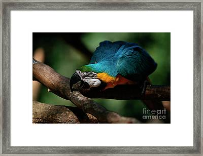 Gold And Blue Macaw Parrot Framed Print by Keith Kapple