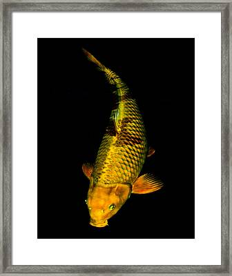 Gold Chagoi02 Framed Print