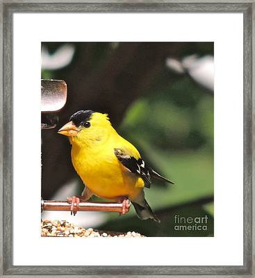 Framed Print featuring the photograph Gold Finch by Eve Spring