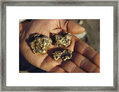 Gold Nuggets Mined In Alaska Framed Print by George F. Mobley