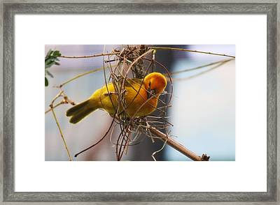 Gold Weaver Framed Print by Paulette Thomas