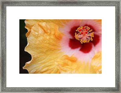Golden And Crimson Hibiscus Framed Print by Donna Smith