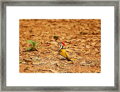 Framed Print featuring the photograph Golden Backed Woodpecker by Fotosas Photography
