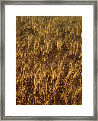Golden Beauty Framed Print by Cheryl Perin