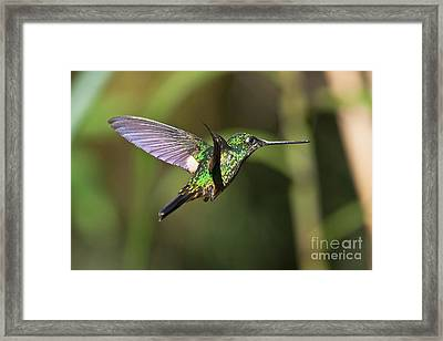 Golden-breasted Puffleg Framed Print