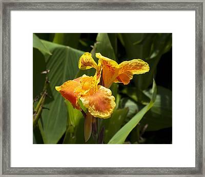 Golden Canna Framed Print by Kenneth Albin