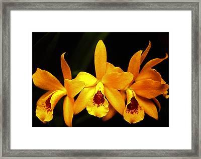 Golden Cattleya Framed Print by Rosalie Scanlon