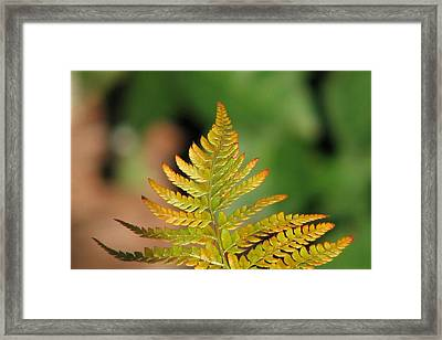 Golden Framed Print by Chris Anderson