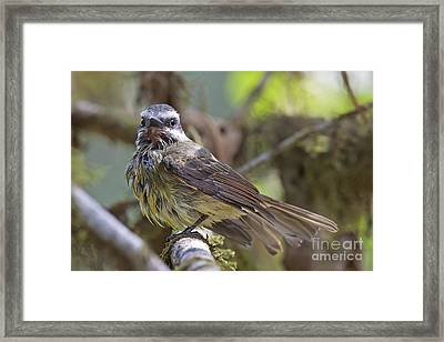 Golden--crowned Flycatcher Framed Print
