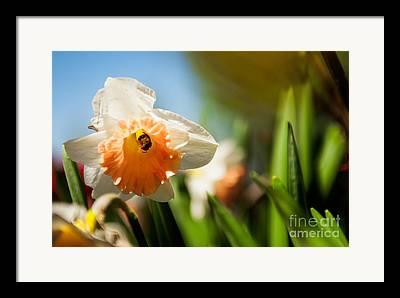 Wasp On Daffodil Flower Framed Prints