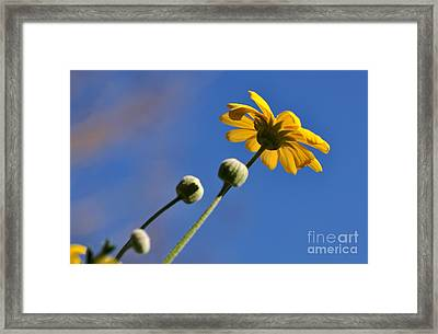 Golden Daisy On Blue Framed Print by Kaye Menner