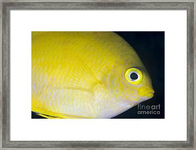Golden Damsel Close-up, Papua New Framed Print