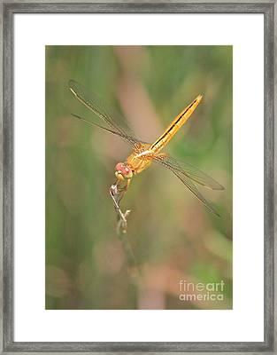 Golden Dragonfly In Green Marsh Framed Print by Carol Groenen