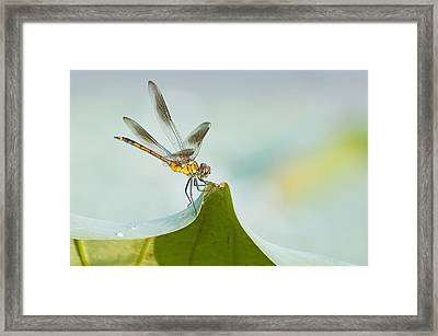 Golden Dragonfly On Water Lily Leaf Framed Print by Bonnie Barry