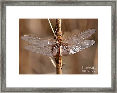 Golden Dragonfly Wings Framed Print by Carol Groenen