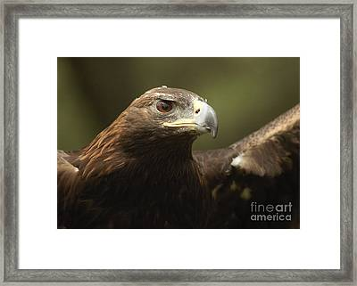 Framed Print featuring the photograph Golden Eagle by Doug Herr