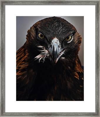 Golden Eagle Feeding Framed Print